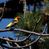 Tanager - 27JUNE2013